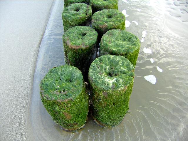 seaweed Carrageena